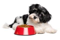 De leuke Havanese-puppyhond ligt naast een rode kom hondevoer Stock Foto