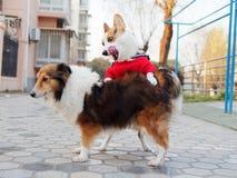 De leuke hond met zwarte kop van tricolor Welse corgi pembroke met rode sweater probeert om geslacht met een herdershond van Shet stock afbeeldingen