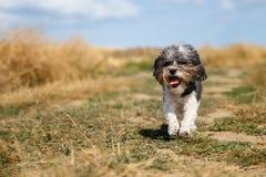 De leuke hond van Bichon Havanese met een de zomerkapsel en zijn tong die uit het lopen gelukkig tegen gemaaid tarwegebied hangen Royalty-vrije Stock Afbeelding