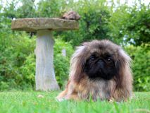De leuke hond van de Pekinees stock foto's