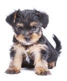 De leuke hond van het de terriërpuppy van Yorkshire Royalty-vrije Stock Afbeeldingen