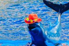 De leuke Irrawaddy-dolfijn (Orcaella-brevirostris) draagt sinaasappel Royalty-vrije Stock Foto