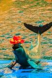 De leuke Irrawaddy-dolfijn (Orcaella-brevirostris) draagt sinaasappel Royalty-vrije Stock Afbeeldingen
