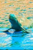 De leuke Irrawaddy-dolfijn (Orcaella-brevirostris) drijft in Th Royalty-vrije Stock Fotografie