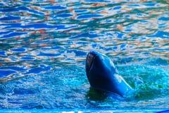 De leuke Irrawaddy-dolfijn (Orcaella-brevirostris) drijft in Th Stock Fotografie