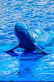 De leuke Irrawaddy-dolfijn (Orcaella-brevirostris) drijft in Th Royalty-vrije Stock Foto