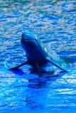 De leuke Irrawaddy-dolfijn (Orcaella-brevirostris) drijft in Th Royalty-vrije Stock Afbeelding