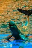 De leuke Irrawaddy-dolfijn (Orcaella-brevirostris) drijft in Th Stock Afbeeldingen