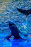 De leuke Irrawaddy-dolfijn (Orcaella-brevirostris) drijft in Th Stock Afbeelding