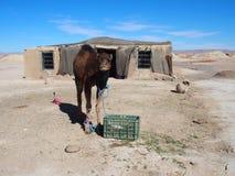 De leuke jonge kameel en het Marokkaanse plattelandshuisje in dorp op de Sahara verlaten landschap in centraal Marokko Royalty-vrije Stock Foto