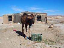 De leuke jonge kameel en het Marokkaanse plattelandshuisje in dorp op de Sahara verlaten landschap in centraal Marokko Stock Fotografie