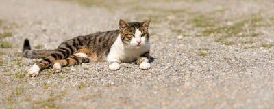 De leuke kat ligt ontspannen op een weg en het letten op stock afbeeldingen