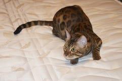 De leuke de kat van Bengalen jacht op het bed stock afbeeldingen