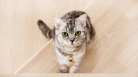 De leuke kat zit op de houten treden, Gestreepte kat de groene ogen en het grijze gekleurde, Amerikaanse korte haar halve bloed H Stock Foto's