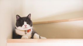De leuke kattenslaap op houten treden, Schotse vouwenoren opent grijze en witte kleur Royalty-vrije Stock Foto's