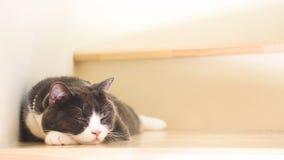 De leuke kattenslaap op houten treden, Schotse vouwenoren opent grijze en witte kleur Stock Afbeeldingen