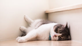 De leuke kattenslaap op houten treden, Schotse vouwenoren opent grijze en witte kleur Royalty-vrije Stock Foto