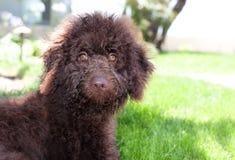 De leuke krullende chocoladebruine hond van het labradoodlepuppy legt in het gras Royalty-vrije Stock Foto's