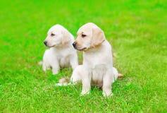 De leuke Labrador van twee puppyhonden in openlucht op gras Stock Fotografie
