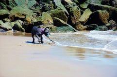 De leuke mastiff van drie maanden van rietcorso op het strand Royalty-vrije Stock Fotografie