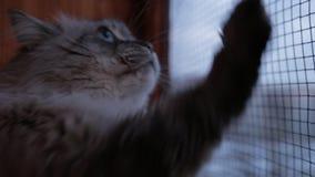 De leuke Neva Masquerade-kat die uit het venster krassende glas kijken met het is potenhuis binnen in de winter stock footage