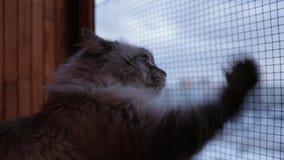 De leuke Neva Masquerade-kat die uit het venster krassende glas kijken met het is potenhuis binnen in de winter stock video