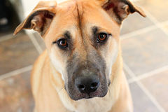 De leuke ogen van de puppyhond Stock Fotografie