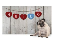 De leuke pug zitting van de puppyhond neer naast houten omheining van teruggewonnen schuurhout met rode en blauwe harten met teks stock afbeeldingen
