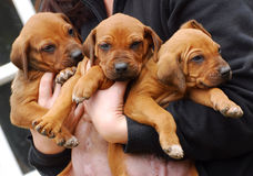 De leuke puppy van Rhodesian Ridgeback Royalty-vrije Stock Foto's