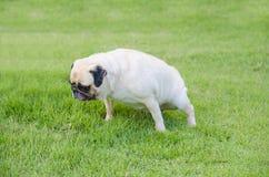 De leuke puppy vrouwelijke Pug hond plast op groen gras Royalty-vrije Stock Foto's
