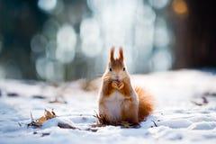 De leuke rode eekhoorn eet een noot in de winterscène Stock Foto's