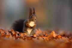De leuke rode eekhoorn met lange gerichte oren eet een noot in de herfst oranje scène met aardig vergankelijk bos op de binnen ve stock foto