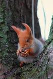 De leuke rode eekhoorn zit op de boom en houdt okkernoot in zijn poten Stock Afbeelding