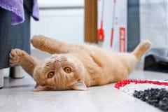 De leuke rode haired gestreepte katkater ligt op de vloer stock afbeeldingen