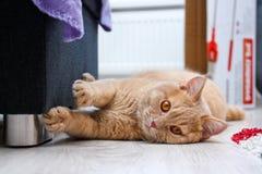 De leuke rode haired gestreepte katkater ligt op de vloer royalty-vrije stock afbeeldingen