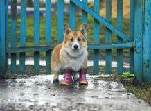 De leuke rode puppyhond Corgi loopt door de vulklei in het dorp in belachelijke rubberlaarzen na een warme regen op de achtergron royalty-vrije stock afbeeldingen