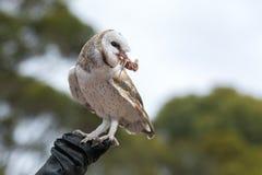 De leuke schuuruil, Tyto alba, met grote ogen die op de leerhandschoen zitten ving een muis en eet haar Uiljager met a stock afbeeldingen
