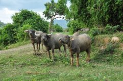De leuke stieren bekijken de camera in Vietnam stock afbeelding