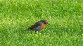 De leuke vogel die van de zomerrobin voedsel zoeken stock video