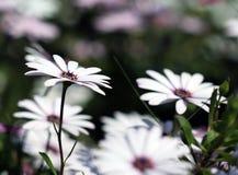 De leuke witte bloemen van Dimorphotheca Stock Fotografie