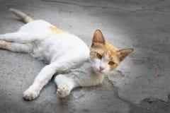 De leuke witte kat met het interesseren stelt en nieuwsgierige uitdrukking stock fotografie