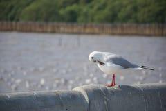 De leuke zeemeeuw bevindend en schoonmakend bont op de cementmuur royalty-vrije stock afbeeldingen