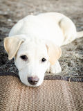De leuke zitting die van de puppyhond droevig kijken Stock Fotografie