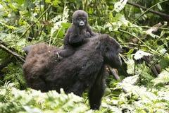 De leuke zitting van de babygorilla op de rug van mum Royalty-vrije Stock Afbeelding