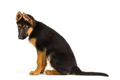 De leuke zitting van de puppyhond op witte achtergrond Stock Fotografie
