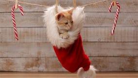 De leuke zitting van de gemberkat in een santahoed - statisch c stock footage