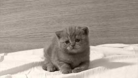 De leuke zitting van het babykatje op het bed stock video