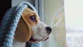 De leuke zitting van de hondbrak in een blauwe deken die, die uit het venster en op de eigenaar wachten kijken Langzame motie, cl stock videobeelden