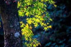 De levendige boom met geel doorbladert in zonnige dag Stock Foto's