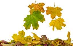 De levendige gekleurde herfst gaat (doorbladert) vallend, geïsoleerde, witte achtergrond weg Stock Foto